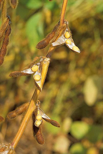 soybean (USDA image, WC)